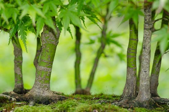 Blick in einen Bonsai-Fächerahorn-Wald