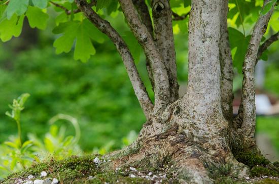 Feldahorn (Acer campestre) als Bonsai