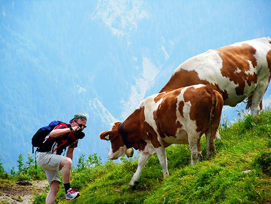 Modelshooting mit Kühen