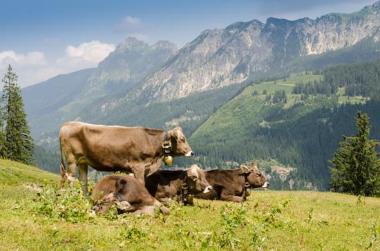 Viehwirtschaft mit Kühen bei der Krinnenalpe