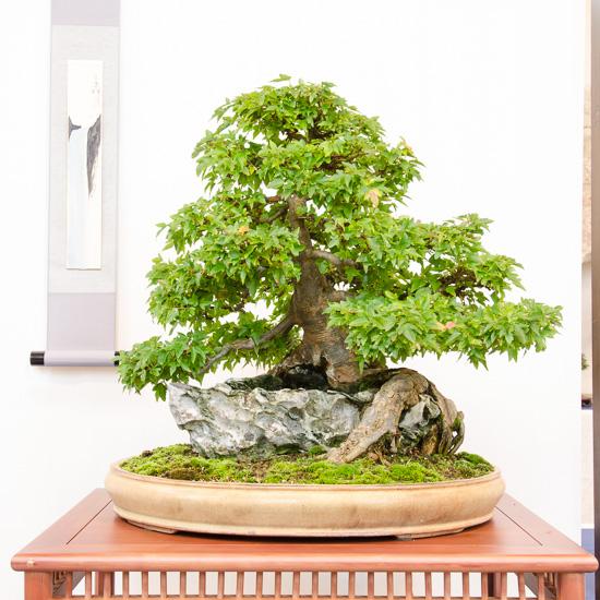 Dreispitzahorn (Acer buergerianum) über einen Felsen