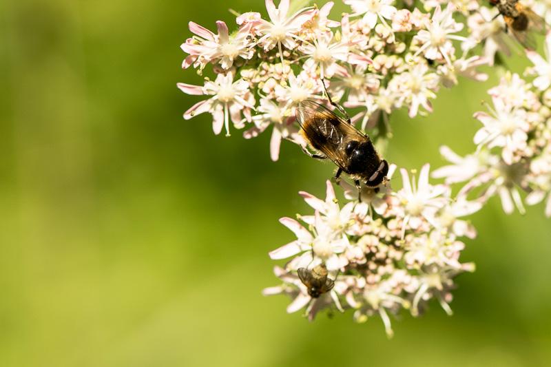 Fliege auf einer Blütendolde