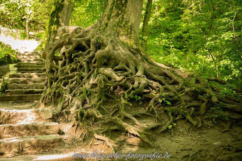 Wurzelwerk eines alten Baumes am Uracher Wasserfall