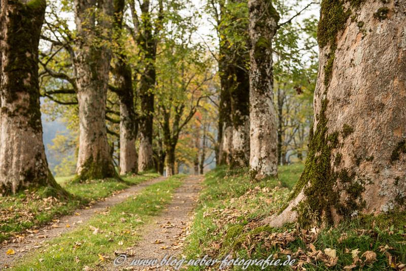 Alte Ahornbäume bei Oberstdorf