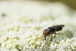 Schwarze Fliege auf einer Doldenblüte
