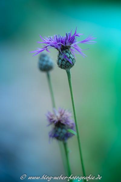 Violette Blüte verfremdet
