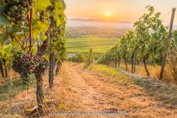 Weintrauben im Gegenlicht