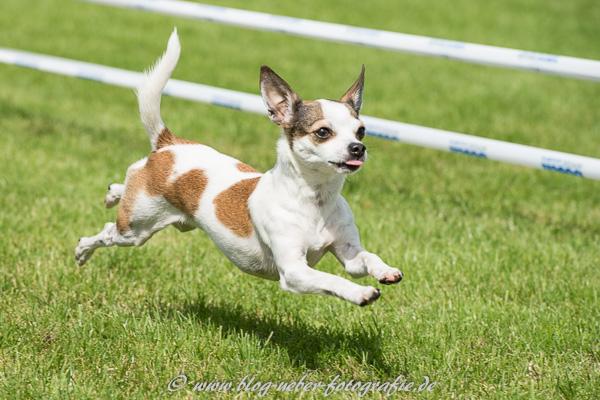 Jack Russell Terrier im Sprint