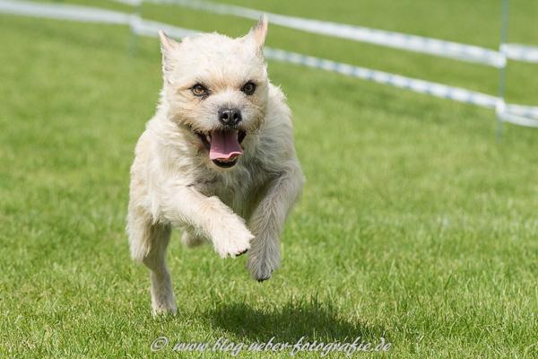 Westhighland White Terrier im Sprung