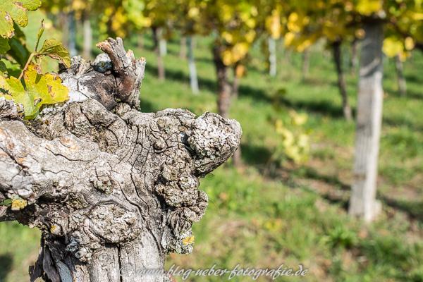 Knorrige Weinrebe