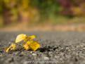 Gelbes Laub auf Asphalt-Straße