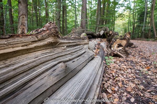 Gefällter Baumstamm im Wald