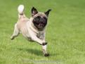 Mops Hund beim rennen