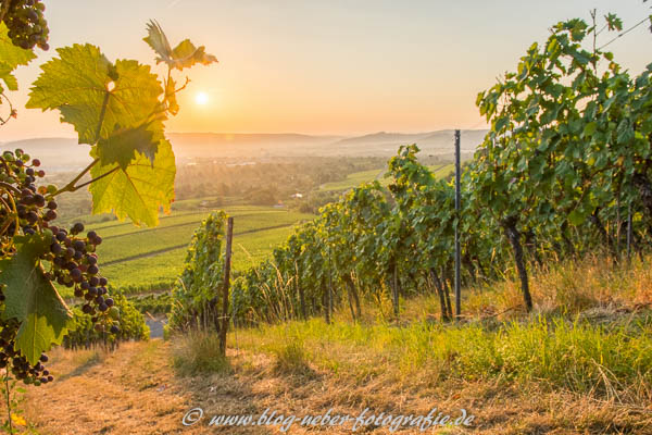 Vineyard with vine leafs and wine grapes
