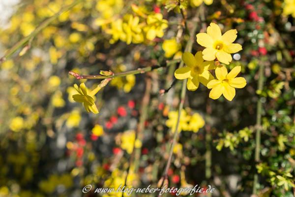 Gelbe Blüten an Weihnachten