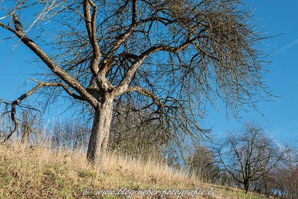 Alter Obstbaum auf einer Streuobstwiese