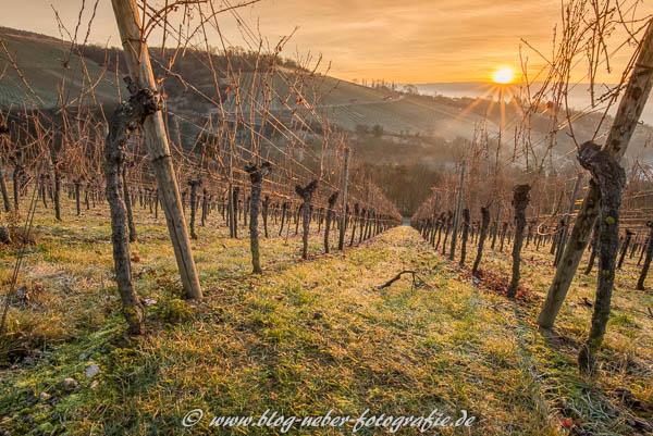 Weinberg im Sonnenaufgang - Dezember 2015