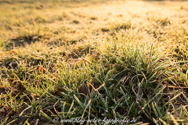 Frost am Gras im Gegenlicht
