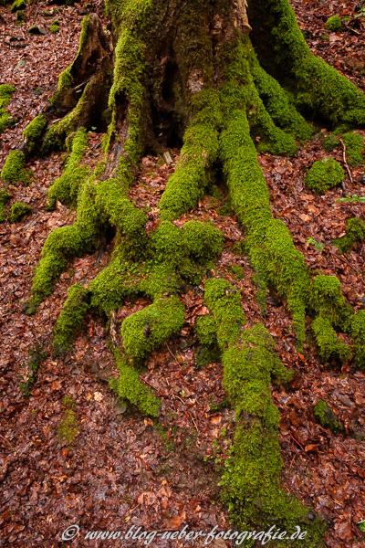 Bemooste Wurzeln eines Baumes