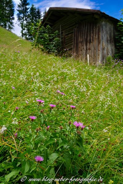 Almwiese mit Flockeblumen und Hütte