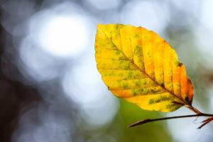 Buchenblatt im Herbst mit XF 90mm Blende 3,6