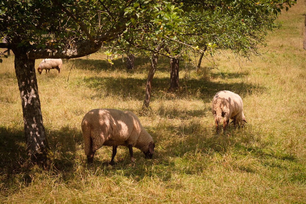 Schafe mit Helios 44-2 - 58 mm
