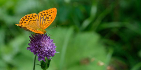 Schmetterling orange Permuttfalter (Argynnis)