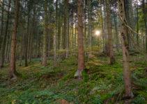 Sonnenstrahlen im Nadelwald