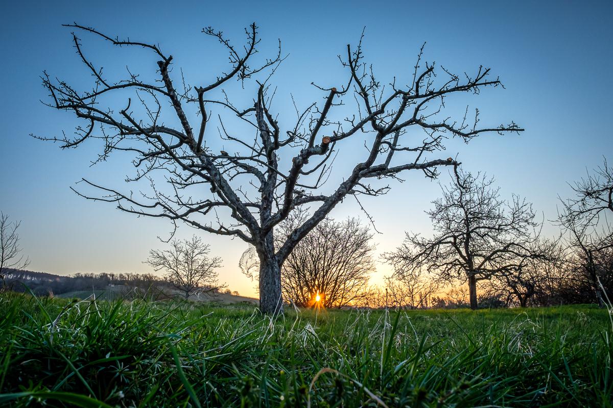 Obstbaum mit Sonnenstern