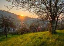 Blühender Obstbaum im Sonnenaufgang