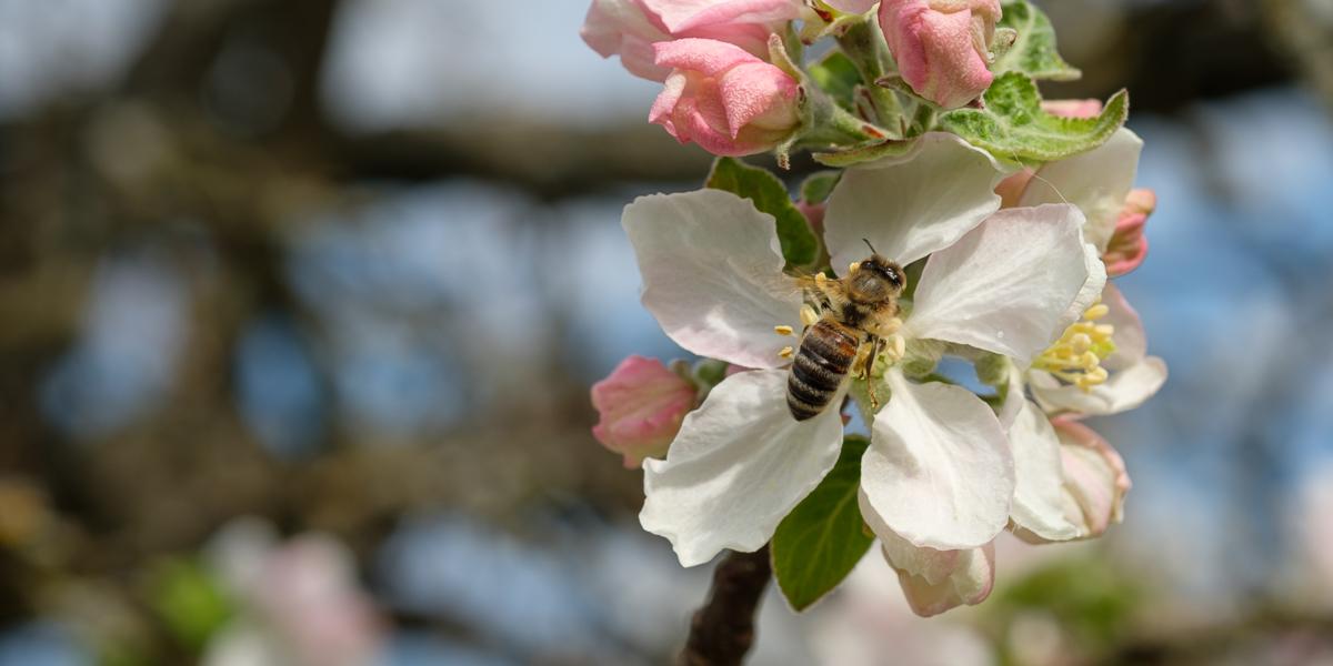 Biene an einer Apfelblüte