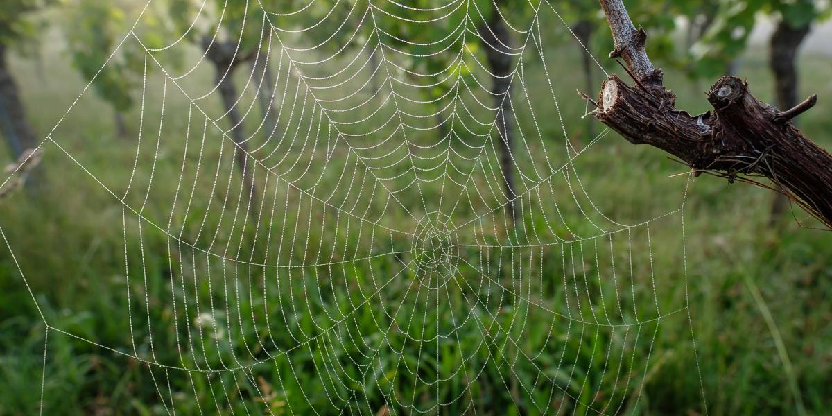 Spinnennetz an einer Rebe