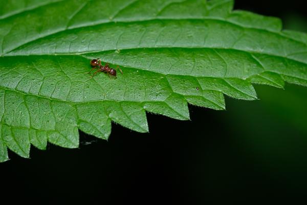 Rote Ameise auf einer Brennessel