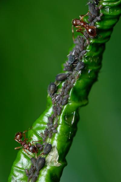 Ameisen melken Läuse