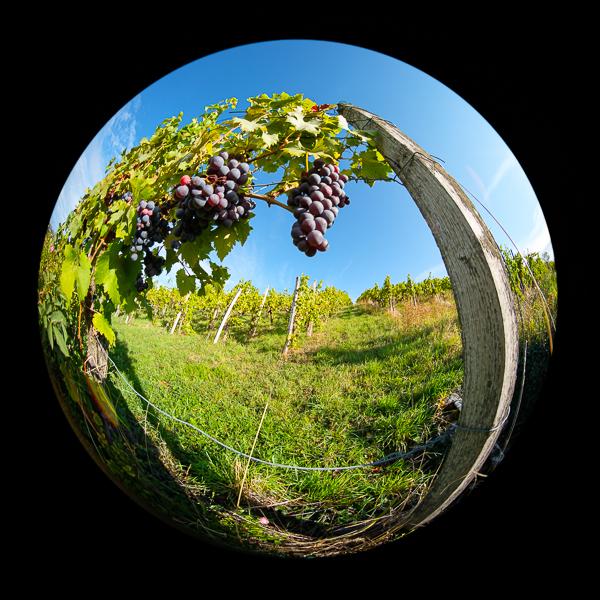 Weintrauben mit Laowa 4mm Fischeye