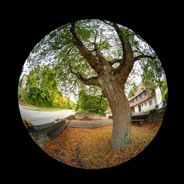 Lindenbaum mit Laowa 4mm Fischeye