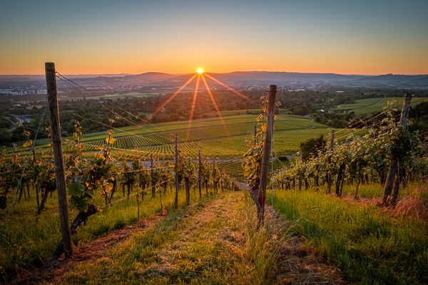 Sonnenaufgang im Weinberg mit dem NISI 15 mm 4,0