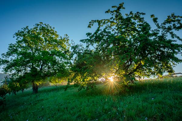 Sonne zwischen Kirschbäumen